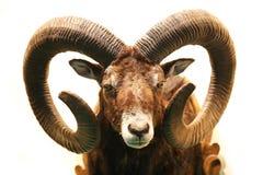 Stäng sig upp av välfylld manlig mouflon med stora krökta horn på vit Arkivfoto