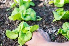 Stäng sig upp av växande salladgrönsallat med handplockning i grönsak Arkivfoto