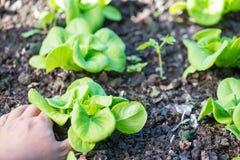 Stäng sig upp av växande salladgrönsallat med handplockning i grönsak Arkivbild