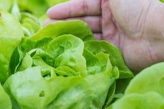 Stäng sig upp av växande salladgrönsallat med handplockning i grönsak Royaltyfri Foto