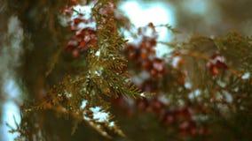Stäng sig upp av vintergrönt granträd för filial i snön arkivfilmer