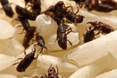 Stäng sig upp av vuxen Sitophilus oryzae för risvivel på riskorn Royaltyfria Bilder