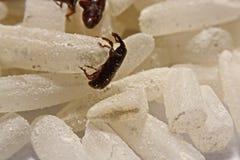 Stäng sig upp av vuxen Sitophilus oryzae för risvivel på riskorn Royaltyfri Bild