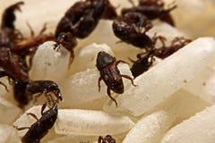 Stäng sig upp av vuxen Sitophilus oryzae för risvivel på riskorn Fotografering för Bildbyråer