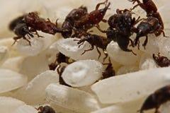 Stäng sig upp av vuxen Sitophilus oryzae för risvivel på riskorn Arkivfoto