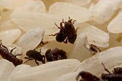Stäng sig upp av vuxen Sitophilus oryzae för risvivel på riskorn Royaltyfri Fotografi