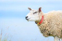 Stäng sig upp av vuxna får med ren bakgrund Royaltyfria Foton