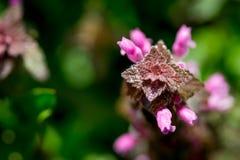 Stäng sig upp bästa sikt av den röda död-nässlan Lamiumpurpureumen Arkivfoton