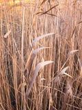 stäng sig upp bakgrund av den guld- bruna vassväxten Arkivbilder