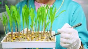 Stäng sig upp, behandskade händer av granskningar för labbarbetaren som växer unga gräsplangroddar i jord, i liten ask, i laborat arkivfilmer