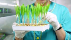 Stäng sig upp, behandskade händer av granskningar för labbarbetaren som växer unga gräsplangroddar i jord, i liten ask, i laborat lager videofilmer