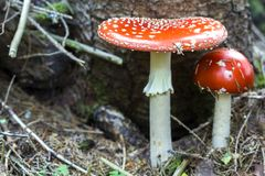 Stäng sig upp bild av två härliga ljusa röda och vita giftiga champinjonflugsvamp som tillsammans växer i skogskönheten och Det Arkivfoto