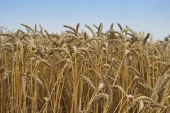 Stäng sig upp bild på det sparade riped vetet Torkade gula korn och sugrör i sommardagen som väntar på skördetröskan royaltyfri fotografi