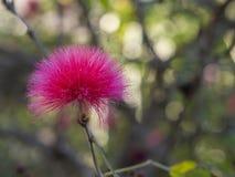 Stäng sig upp blommacalliandrahaematocephalaen - den rosa felika dammtrasan, pudervippa med bokehljus Royaltyfria Bilder