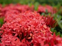 Stäng sig upp busken av för röd jasmin- eller Ixora Dok för västra indier khem royaltyfria foton