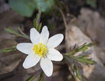 Stäng sig upp den enkla vita flowerAnemonenemorosaen för den wood anemonen, sel Arkivbilder