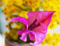 Stäng sig upp den härliga bougainvillean, pappers- blomma på gul mimosa Royaltyfri Bild