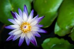 Stäng sig upp den härliga magentafärgade och vita blommande lotusblommablomman Fotografering för Bildbyråer