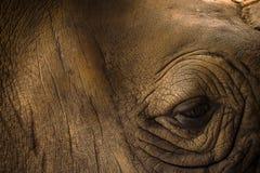 Stäng sig upp den Horned noshörningen för indier en, noshörningunicornis arkivfoton