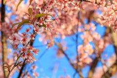 Stäng sig upp, den körsbärsröda blomningen eller sakura blommor, Chiangmai, Thailand Fotografering för Bildbyråer