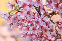 Stäng sig upp, den körsbärsröda blomningen eller sakura blommor, Chiangmai, Thailand Arkivbild