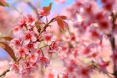 Stäng sig upp, den körsbärsröda blomningen eller sakura blommor, Chiangmai, Thailand Arkivfoton
