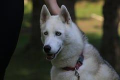 Stäng sig upp den skrovliga härliga hunden, den magestic arktiska aveln royaltyfri bild