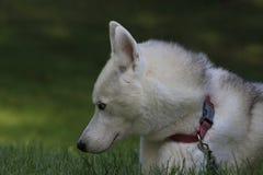 Stäng sig upp den skrovliga härliga hunden, den magestic arktiska aveln arkivbilder