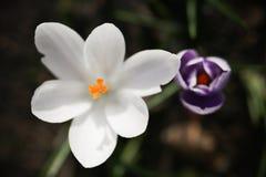 Stäng sig upp den vita blomman för makroen i en bokehbakgrund Royaltyfria Foton