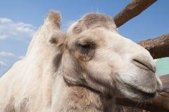 Stäng sig upp den vita kamlet på naturlig bakgrund för blå himmel Arkivbild