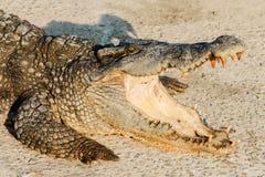 Stäng sig upp djurliv som krokodilen med ett toothy grinar fotografering för bildbyråer