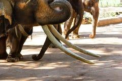 Stäng sig upp elfenben av elefanten arkivbilder