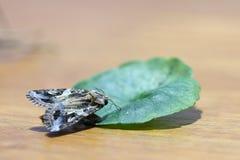 Stäng sig upp en härlig mal som sätta sig det gröna bladet på trät Arkivfoto