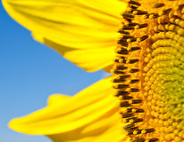 Stäng sig upp en pollen av solrosen Arkivfoto