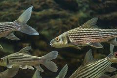 Stäng sig upp fisk, sju - den randiga taggen Royaltyfria Bilder