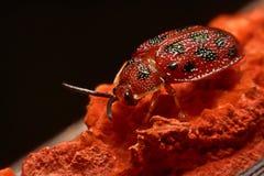 Stäng sig upp foto av den färgrika nyckelpigacoccinellidaen på träbac Royaltyfri Foto
