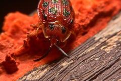 Stäng sig upp foto av den färgrika nyckelpigacoccinellidaen på träbac Royaltyfria Foton