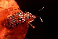 Stäng sig upp foto av den färgrika nyckelpigacoccinellidaen på träbac Arkivfoto