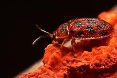 Stäng sig upp foto av den färgrika nyckelpigacoccinellidaen på träbac Fotografering för Bildbyråer