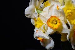 Stäng sig upp fotoet av buketten av vit och gulna den påskliljor förlade nollan arkivfoton