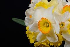 Stäng sig upp fotoet av buketten av vit och gulna den påskliljor förlade nollan arkivbild