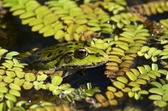 Stäng sig upp fotoet av den gröna grodan Arkivbilder