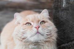 Stäng sig upp fotoet av den ljust rödbrun katten med gröna ögon som upp ser och väntar på något som är smaklig Arkivbilder