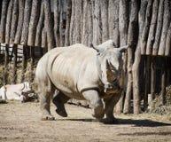 Stäng sig upp fotoet av en vit noshörning och en Addax Royaltyfria Foton