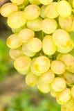 Stäng sig upp fotoet av mogna vita druvor på vinranka Arkivbilder