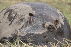 Stäng sig upp fotografiet av flodhästen som tar en ta sig en tupplur Arkivfoton
