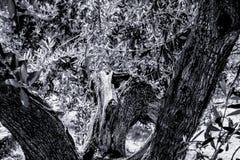 Stäng sig upp från ett svartvitt gammalt träd arkivbilder