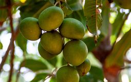 Stäng sig upp från exotiskt mangoträd fotografering för bildbyråer