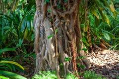 Stäng sig upp från fantastiskt exotiskt rotar trädet arkivfoto