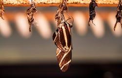 Stäng sig upp från fjäril vid puppan arkivfoto
